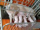 畜牧秤带围栏称活猪地磅,1.2*1.5米称活牛地磅,称活羊地磅可定制